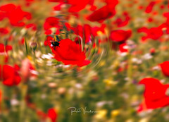 Poppie swerl. (rudi.verschoren) Tags: rood outdoor landscape light flowers flanders field red green bee eos europe europa exposure mood glow canon 70d colors contrast overlooking belgium abstract photoshop nature natuur art