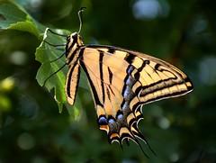 DSC_0265 (Kerstin Winters Photography) Tags: d7200 flickrnature flickr photography fotografie fotos nikon nikkor nikondigital nikondsl natur nature naturfotografie nahaufnahme outdoor macro closeup schmetterling butterfly