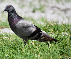 Pigeon (BMADHudson) Tags: jupiter pigeon florida floridaphotography wildlife wildlifephotography nikon nikond5500 nature grass green iridescent bird black beak southflorida