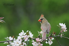 *** cardinal rouge femelle / Northern cardinal  femaleF) (ricketdi) Tags: cardinalrouge cardinaliscardinalis northerncardinal coth5 ngc npc