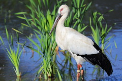 Oriental stork (Teruhide Tomori) Tags: orientalwhitestork bird animal japan japon コウノトリ 兵庫県立コウノトリの郷公園 日本 鳥 hyogoparkoftheorientalwhitestork