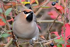 HNS_0968 Pestvogel : Jaseur boreal : Bombycilla garrulus : Seidenschwanz : Bohemian Waxwing