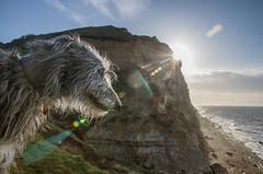 At the Seaside (Shastajak) Tags: ishmael deerhound scottishdeerhound sighthound gazehound dog rip soverymuchmissed ecclesbourneglen cliffs beach sunflare flare rainbow imtryingnottomentiontherainbowbridge littledoglaughedstories