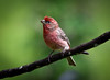 You change your life by...  . (knoxnc) Tags: treebranch bokeh wildbirds nc purplefinch feathers nikon d7200 friends specanimal coth5 alittlebeauty