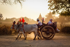 An ox cart running on dusty road at sunset (phuong.sg@gmail.com) Tags: asia asian attraction bagan buddhism buddhist burma burmese carriage cart culture dirt exploring heritage horse landmark myanmar pagoda religion religious revered road serene sightseeing southeast stupas temple theravada tour tourism tourist tourists tradition traditional tranquil travel wagon worship