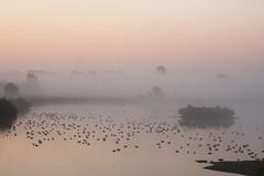 Gänse im Nebel (Lilongwe2007) Tags: haseldorfer marsch gänse sonnenaufgang deutschland schleswig holstein landschaft natur vögel tiere