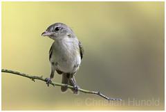 bell's vireo (Christian Hunold) Tags: bellsvireo songbird bird bokeh braunaugenvireo catalinastatepark sonorandesert arizona christianhunold
