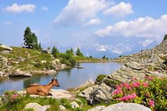 Spiegelsee in den Schladminger Tauern... (Mariandl48) Tags: spiegelsee schladmingertauern ziegen almrausch blumen berge dachstein reiteralm steiermark austria