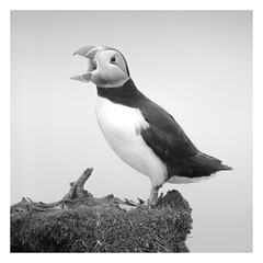 Puffin on Staffa II (Colin Campbell (Bruiach)) Tags: