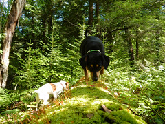 Dog Vacation (rcvernors) Tags: dogvacation rcvernors rickchilders macy polly log moss pine woods forest dog canine sniffing pocahontascountywestvirginia westvirginia wv
