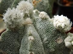 Astrophytum (Skolnik Collection) Tags: succulent cactus mexico skolnik collection propagation fitotron fytotron macrophoto digital camera benq selected hybrid multiflower detail nature close nursery winter hardy sempervivum sedum