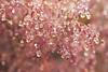 England 2017 (agnes.saabythomsen) Tags: roadtrip påturmedjannik drips drops makro macro naturentætpå tætpå regn rain vand lyserød pink