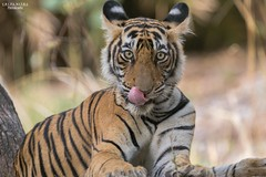 King of the forest (Rupa Mitra Photography) Tags: tiger india ranthambhore wildlife kingoftheforest noor tigercub