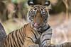 King of the forest (Rupa Mitra Photography) Tags: tiger india ranthambhore wildlife kingoftheforest noor tigercub