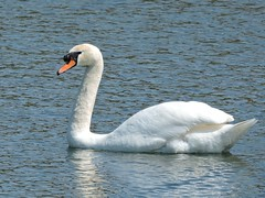 Swan (deannewildsmith) Tags: earthnaturelife staffordshire swan bartonmarina bird