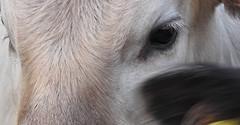 IN YOUR EYES I SEE BLUE SKIES (P☆ppy C☆cqué) Tags: ap poppy poppycocqué soundtrack poem prose poetry quote quotation joshkrajcik thefirsttimeeverisawyourface iwillbesilent martinbuber inyoureyesiseeblueskies eye eyes reflection cow bull bullock calf babycow eyelashes animal outdoors outside farmanimal p☆ppyc☆cqué