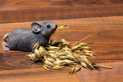 Life is a feast (FocusPocus Photography) Tags: hafer oat körner grains ernte harvest maus mouse hungrig hungry
