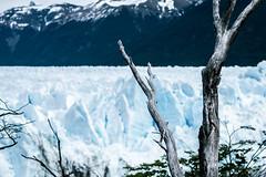 Wood and Ice (julien.ginefri) Tags: argentina patagonia moreno glaciar ice glacier patagonie argentine panoramic mountain sky montaña cielo glace layer perito hike south america latin trek trekking elcalafate