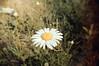 DSC_0183  Daisy (Sam T (samm4mrox)) Tags: flowers macro nikond70 maine newengland summer 2017 lisbonmaine usa nature