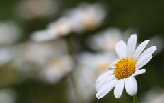 Summer Delight (AnyMotion) Tags: margueritedaisy strauchmargerite argyranthemumfrutescens blossom blüte 2017 plants pflanzen anymotion nature natur blumen floral flowers frankfurt 6d canoneos6d garden garten colours colors farben white weiss bokeh hbw summer sommer été verano zomer estate macro makro makroaufnahmen ngc npc
