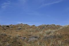 enjoying the day together (Hanneke Bantje) Tags: waddenwaddeneilandvlielandzonzeestrand2017 zandzeestrandwaddenvlielandwaddenzeeeilanden meeuwen meeuwenduinen vogels birds duin duinen dune dunes bluesky