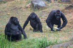 DSC00601 (sylviagreve) Tags: 2017 apenheul gorilla apeldoorn gelderland netherlands nl