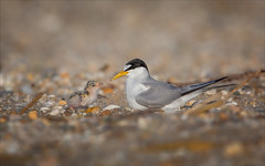 Tale as Old as Time (Kathy Macpherson Baca) Tags: explore animal animals bird nature birds terns least protected chick world wildlife beach eggs nesting migrate love planet earth shore fish parents aves ocean longisland fly dive endangered