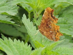Comma butterfly (deannewildsmith) Tags: staffordshire butterfly commabutterfly insect earthnaturelife