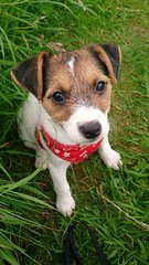 The look of innocence... (wazzle1) Tags: jackrussellterrier puppy cute dog inexplore k9 mammel