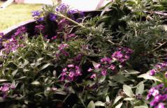 flower pot (Mark.Swanson) Tags: flowerpot flower alyssum lobelia verbena
