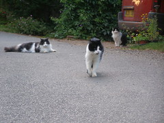 951zzd Boofy with Fluffy(left( and Moz( right) looking on (anchorphotos) Tags: boofy fluff fluffy moz 951zzd