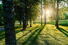 Iisalmi (Tuomo Lindfors) Tags: iisalmi suomi finland myiisalmi dxo filmpack aurinko sun koivu birch theacademytreealley varjo shadow