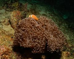 Anemone Nero e Nemo delle Maldive. Black Anemone and Maldivian's Nemo. (Amphriprion Nigripes). (omar.flumignan) Tags: anemonenero blackanemone maldive maldives pagliacciodellemaldive maldivesanemonfish amphrionnigripes allnaturesparadise ngc flickrtravelaward