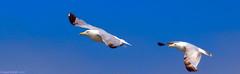 Vol en formation (Phil du Valois) Tags: mouette gull oiseau bird wild sauvage free libre ciel bleu mer faune avifaune océan plage port