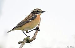 Whinchat / Paapje / Saxicola rubetra (Eric Tilman) Tags: whinchat paapje saxicola rubetra rietputten vlaardingen nederland netherlands bird nature