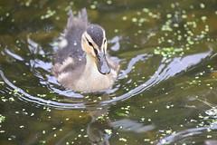 MJG_0613 (mattgilmartin) Tags: wildlife duckling