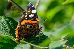 Red Admiral (Keith Grafton) Tags: leightonmoss red admiral butterflies