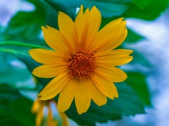 Where flowers blooms so does hope!! (Swapna Vasisht) Tags: yellow color nature macro flower yellowflower floral sun summwr beautiful bright closeup leaf season blooming blur background canon 600