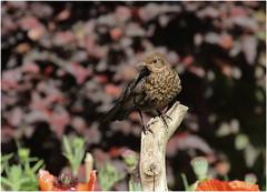 Young Blackbird (jenny*jones) Tags: blackbird youngblackbird turdusmerula thrush speckled gardenbird westyorkshire gtbritain june2017 garden canon canon7dmarkii canon100400mmii birdphotography