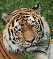 amurtiger taymir Ouwehands JN6A3778 (joankok) Tags: tiger tijger amoertijger amurtiger siberischetijger siberiantiger pantheratigrisaltaica ouwehands kat cat mammal zoogdier dier animal asia azie
