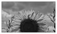 Hot sun (fdlscrmn) Tags: bw sun sunflower 7dwf cloudy flora flowers plants flor