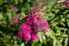 (HelenaPoulsen) Tags: flower busk green pink lyserød nature natur