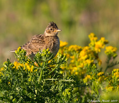 Skylark (Amanda Nicoll) Tags: birds wildlife countryside coast outdoors canon pembrokeshire skylark marloes