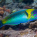 Red-cheek Wrasse, transition phase - Thalassoma genivittatum