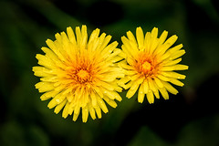 Two Dandilions 3-0 F LR 4-12-17 J119 (sunspotimages) Tags: flower flowers dandelion dandelions nature yellowflowers yellowflower yellow