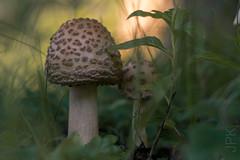 Front Lawn, 7.11.17 (koperajoe) Tags: lawn macro russianlens fungus vintagelens russianglass mushroom understory botanical mycology
