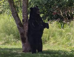 Tree marking. (Maja's Photography) Tags: bear bc blackbear black animals amazing blueberries wildlife wilderness wild tree scratch