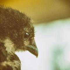 (CarbonNYC [in SF!]) Tags: australorp ez familyfarm sfzoo babychick bird chick chicken eye