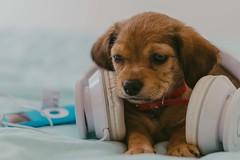 Head dog (FerLopezPhoto) Tags: femaledog dog blue ipod apple white pets