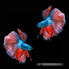 ENCOUNTER (Ruksutakarn) Tags: blue color colorful domestic dragon dress exotic fancy fight fin fish gold half halfmoon hobby image isolated luxury moon motion nature pet power red rhythmic scale siamese space splendens swimming tail thailand tropical underwater water
